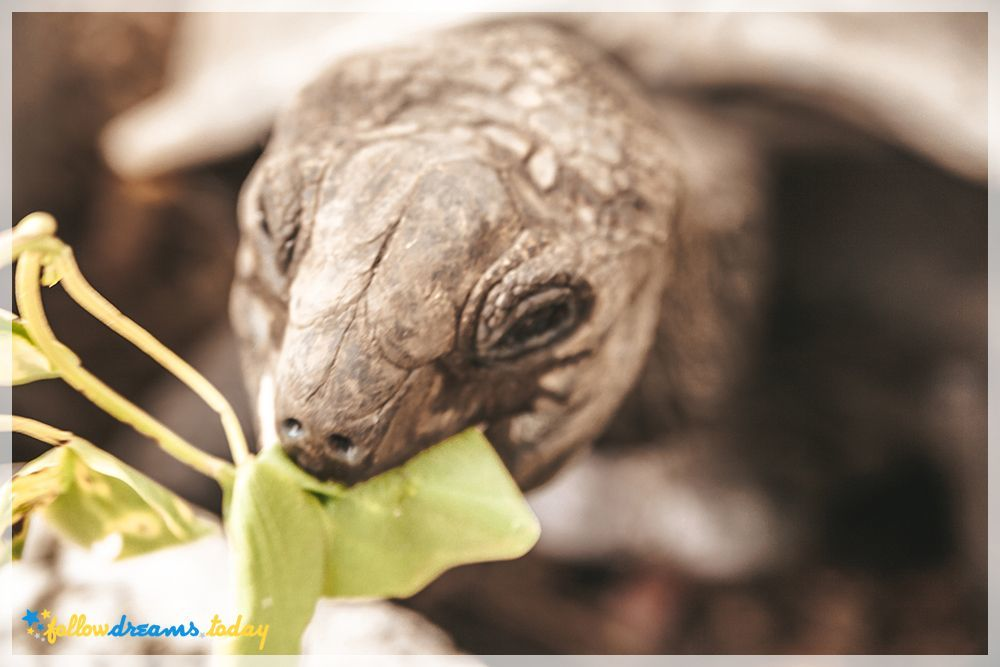 Giant turtle while eating some plant